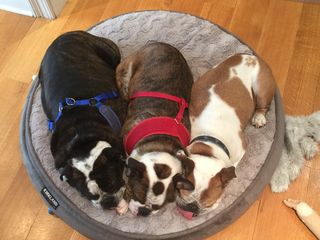 3 dog bed