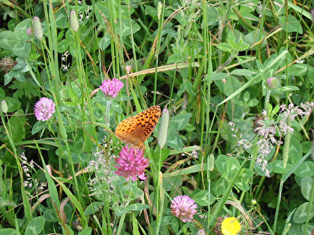 butterfly_and_clover_2