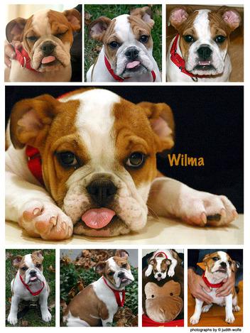 Wilmadog_1
